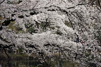 井の頭桜.jpg