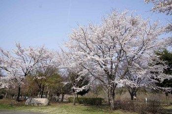 宮ケ瀬桜1.jpg