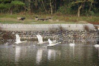 白鳥15.jpg