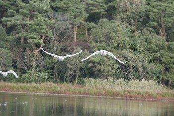 白鳥23.jpg