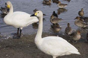 白鳥4.jpg