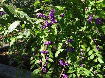 紫の実.jpg
