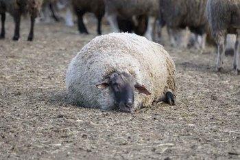 羊団子.jpg